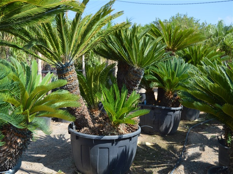 cycas revoluta. Black Bedroom Furniture Sets. Home Design Ideas