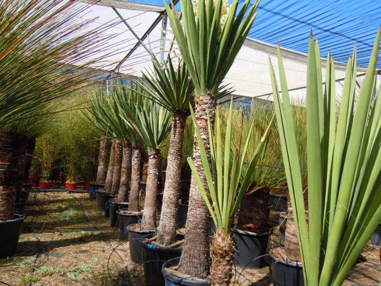 Yuccas yucca treculeana for Yucca elephantipes exterieur
