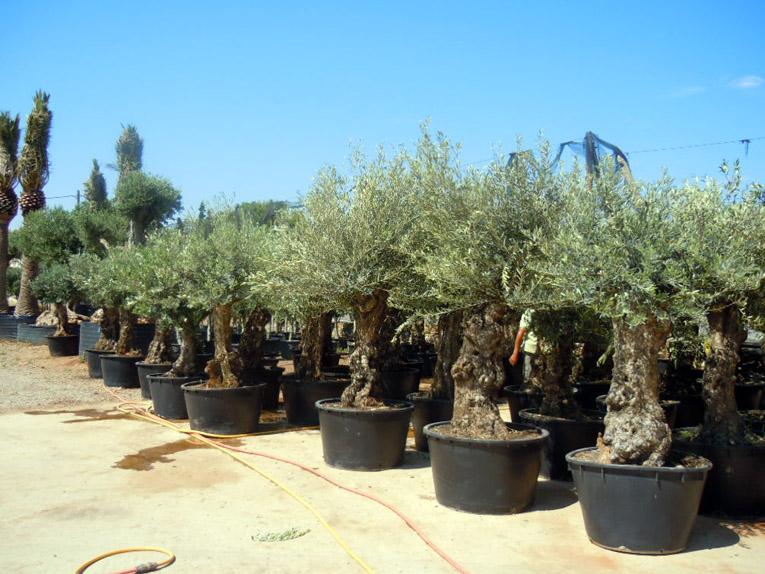 Olivos maceta - Olivo en maceta ...