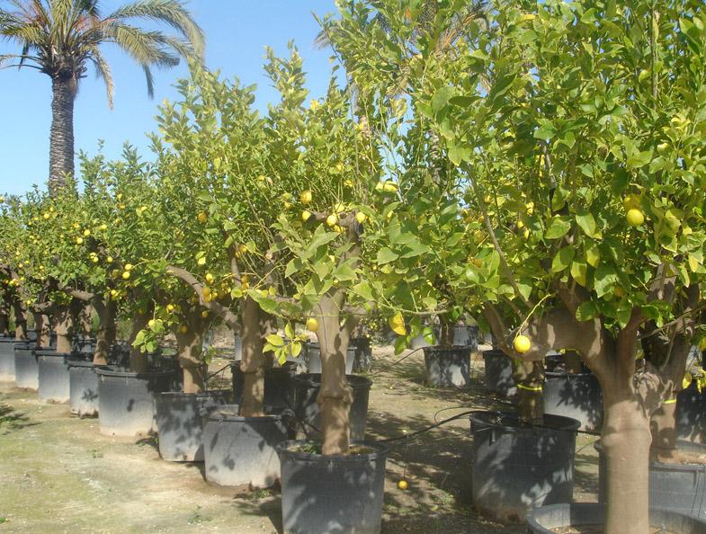c tricos 1504 limoneros 60 70 limonero sin limones