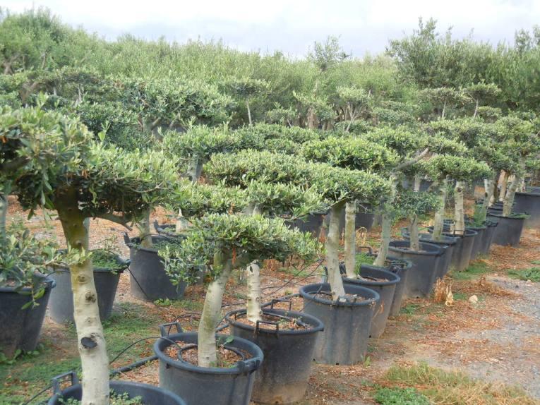 Olivos en maceta olivos bonsai en maceta - Olivo en maceta ...