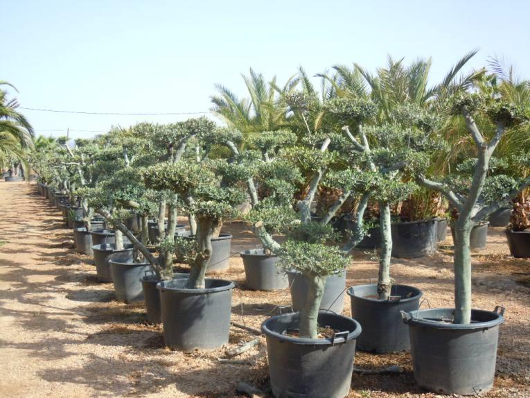 Olivos en maceta olivos bonsai - Olivo en maceta ...