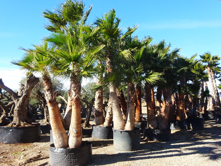 Washingtonia filifera grupo