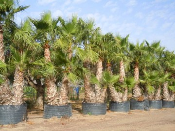WASHINGTONIA GRUPO