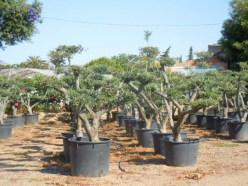 Olivos_Bonsai_en_4feb11753d1b1.jpg