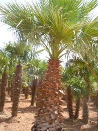 Washingtonia_Fil_4ff6e9893242f.jpg