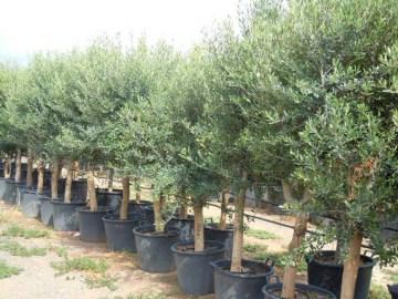 Olive Tree In Pot 80l